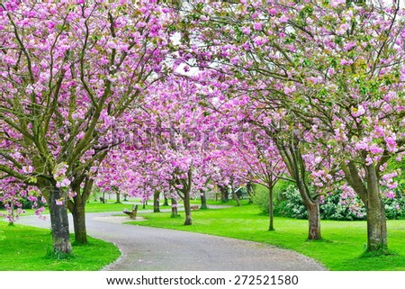 Scenic View of a Winding Lane Lined with Cherry Trees in Blossom - stock photo
