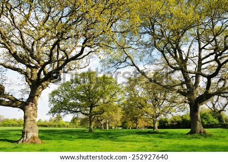 Scenic View of an Avenue of Oak Trees in a Green Field in Rural England - stock photo