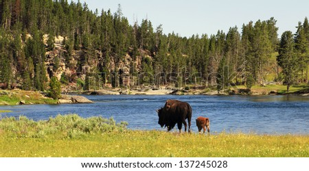 Scenic view of bison grazing by Yellowstone river with forest in background, Wyoming, U.S.A. - stock photo