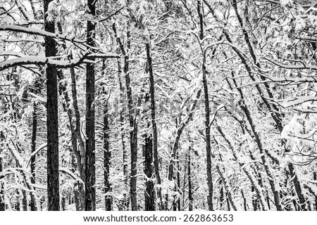 Scenic Winter Forest Pattern. Black and White Winter Forest Theme. Arizona, United States.