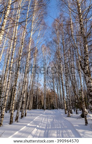 Scenic winter view with the birch grove with tall thin birches among the snow and snow drifts against the blue sky - stock photo