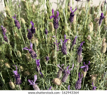 Scented flowers of Spanish lavender lavandula stoechas attract bees to the garden with their heavily scented blooms in spring and summer. - stock photo