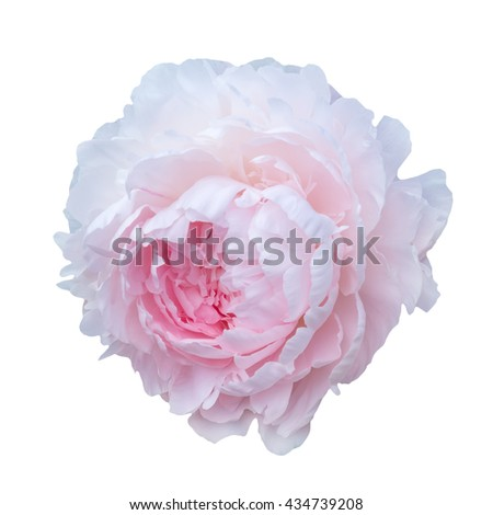 Scented fragrant trendy  pale pink peonies isolated on white background. Shallow depth of field.
