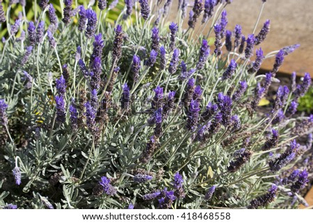 Scented purple  flowers of English lavender lavandula officinalis  attract bees to the garden with their heavily  fragrant  blooms in spring and summer. - stock photo