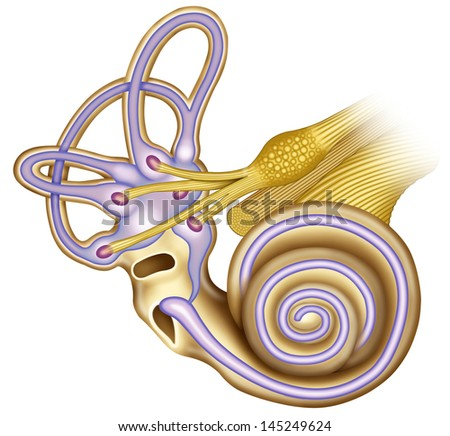 Schematic illustration of the ear canal of the cochlea with vestibular and acoustic nerves connected to the duct ampulla and vestibule - stock photo