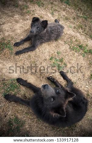 Schipperke sheperd dogs lying in the dry grass - stock photo