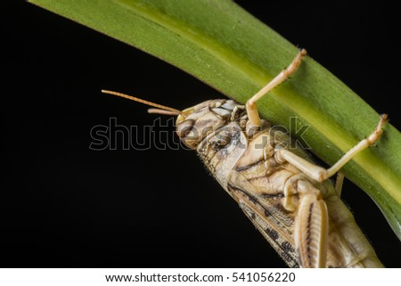 Schistocerca gregaria - the desert locust - food insects
