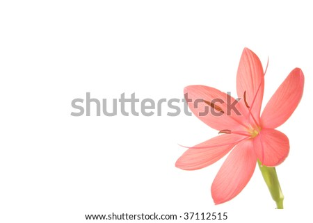 Schizosthylis Coccinea Sunrise flower isolated with copy space to the left