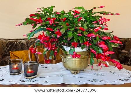 Schlumbergera flower on the table - stock photo