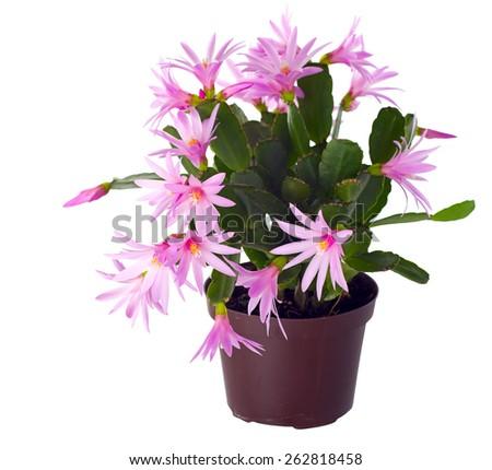 Schlumbergera in flower pot. Schlumbergera is a small genus of cacti . - stock photo
