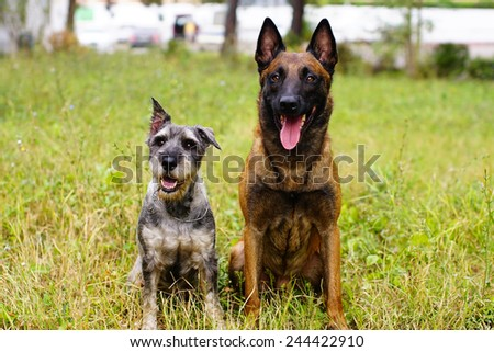 Schnauzer and German Shepherd with medals, sits on a lawn
