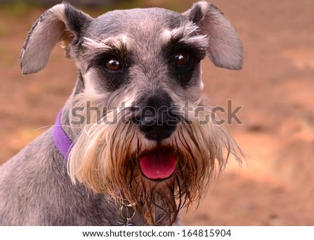 Schnauzer Dog Portrait and Direct Look - stock photo