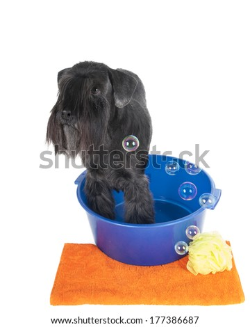 Schnauzer in a basin with a towel on white background in studio