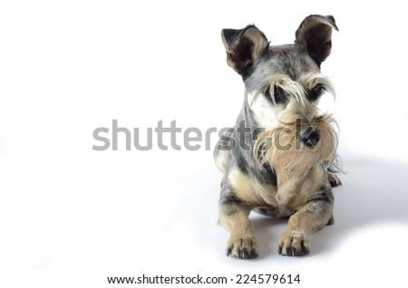 Schnauzer isolated on a white background - stock photo