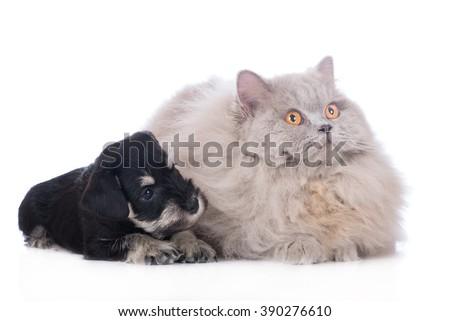 schnauzer puppy and british longhair cat - stock photo