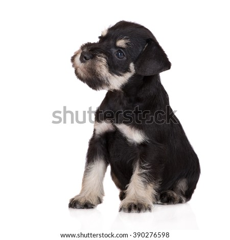 schnauzer puppy sitting on white - stock photo