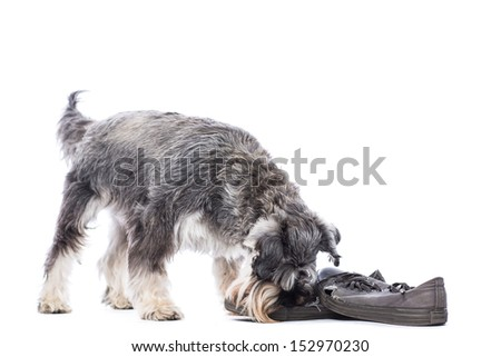 Schnauzer standing chewing on a pair of old shoes left down on the floor as a toy, isolated on white with copyspace - stock photo