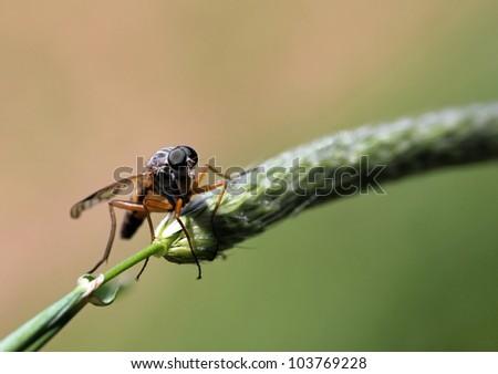 Schnepfenfliege auf Grashalm,Rhagionidae sitting on a blade of grass,Facet eyes of a Rhagionidae, - stock photo