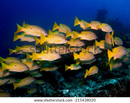 School, big group of Snappers, yellow fish with stripes, in deep water, close to the reef. Komodo, Indonesia. - stock photo