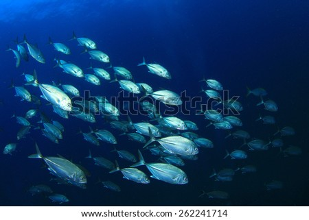School Bigeye Trevally fish (Jacks) - stock photo