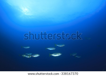 School Mackerel fish underwater - stock photo