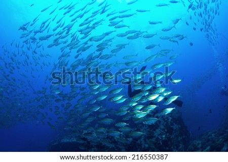 School mackerel fish underwater in Koh Tao, Thailand