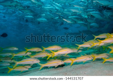 School Mexican Yellow Goatfish (Mulloidichthys dentatus),feeding, reefs of Sea of Cortez, Pacific ocean. Cabo Pulmo National Park, Baja California Sur, Mexico. Cousteau named it The world's aquarium.
