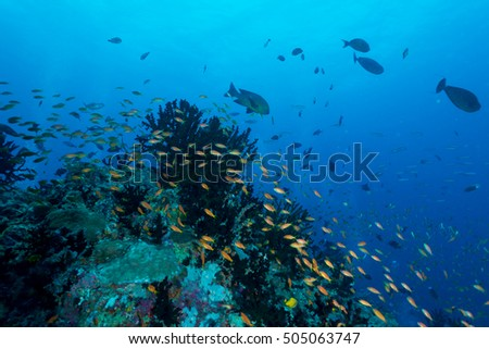 School of Anthias