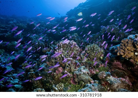 SCHOOL OF ANTHIAS FISH SWIMMING FRONT OF REEF CORAL