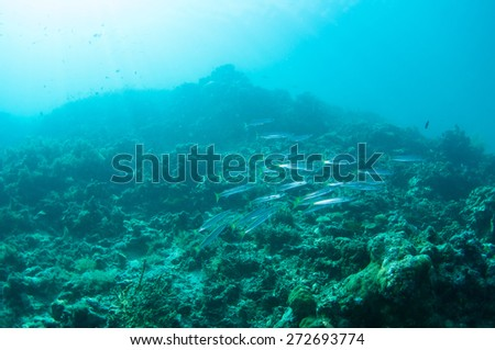 School of Barracuda fish - stock photo