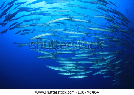 School of Barracuda fish in the Red Sea - stock photo
