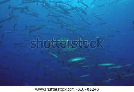 SCHOOL OF BARRACUDA SWIMMING ON BLUE CLEAR WATER