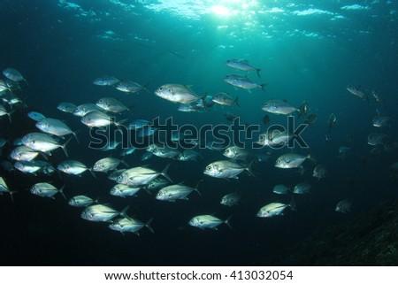 School of Bigeye Trevally fish in ocean - stock photo