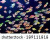 School of colorful Siamese glass-fishes - stock