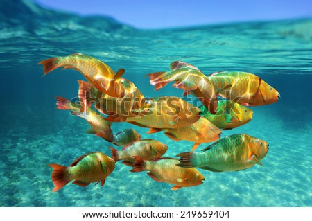 School of colorful tropical fish, Rainbow parrotfish, close to water surface, Caribbean sea - stock photo