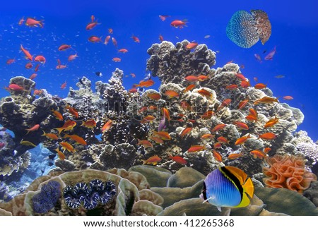 School Of Coral Goldfishes. Red Sea