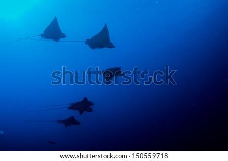 school of eagle rays caribbean sea. - stock photo