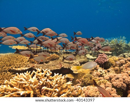 School of fish and coral Great Barrier Reef Australia - stock photo