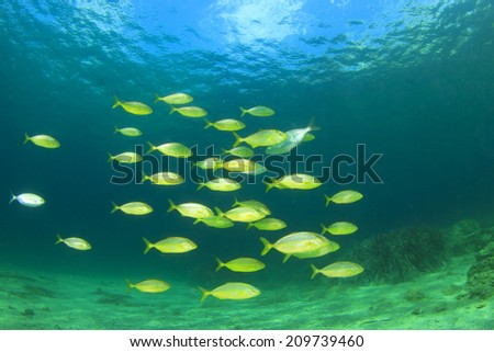 School of Fish: Bar Jack or Trevally fish - stock photo