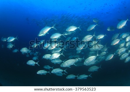 School of fish: Bigeye Trevallies (Jack fish or Jackfish)