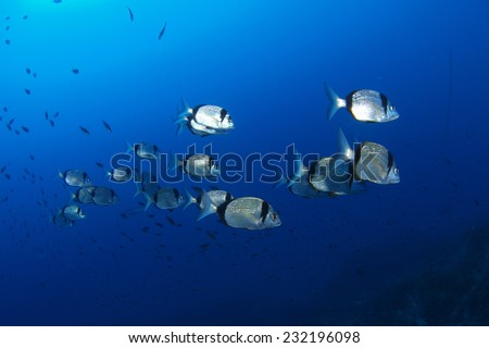 School of fish (Diplodus vulgaris) at Mediterranean sea - stock photo