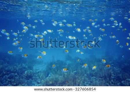 School of fish Sergeant-major with water surface ripples and coral reef seabed, Caribbean sea, Martinique - stock photo