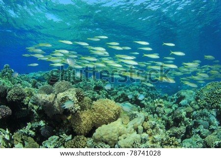 School of Fish: Yellowfin Goatfish on coral reef