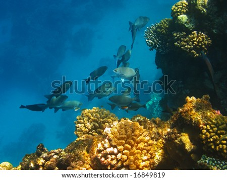 School of fishes in Red Sea