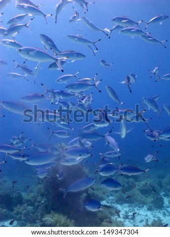 School of fishes in turquoise blue water, in front of the beautiful shallow reef. Sharm el Sheikh, Egypt, Red Sea