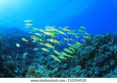 School of Goatfish