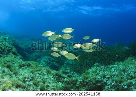 School of golden fish in blue water - stock photo