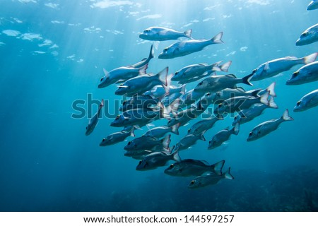 School of grunts and snapper