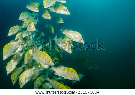 School of grunts and snappers. Cabo pulmo, sea of cortez.  Mexico - stock photo