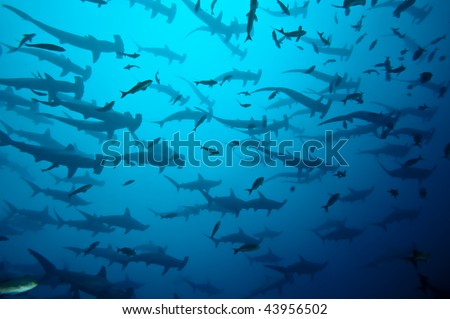 School of hammerhead in the blue, Galapagos - stock photo